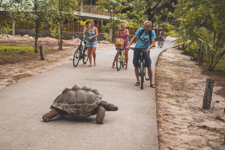 La Digue schildpadden op de weg