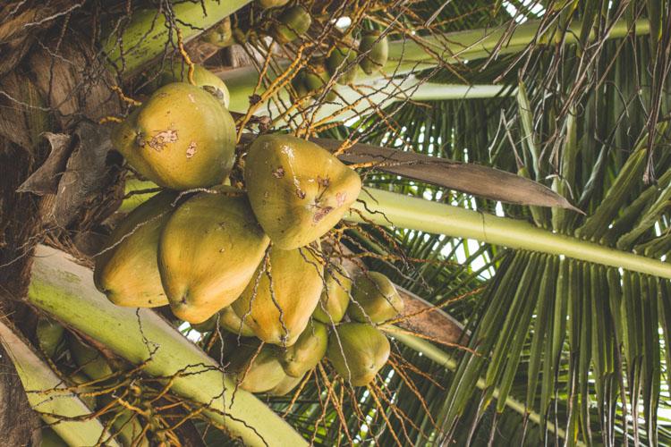 La Digue seychellen kokosnoten