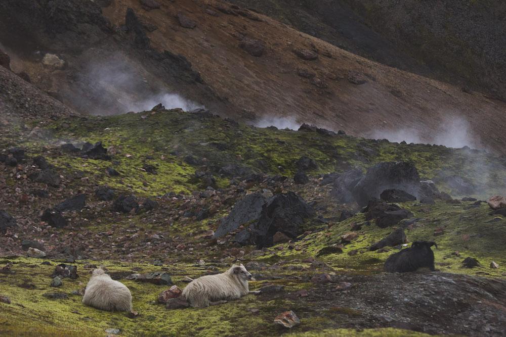 Landmannalaugar ijsland geisers schapen