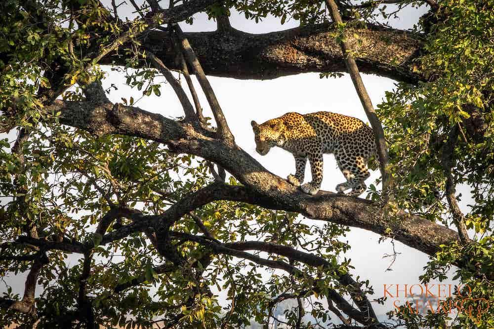 Luipaard in Chobe National Park