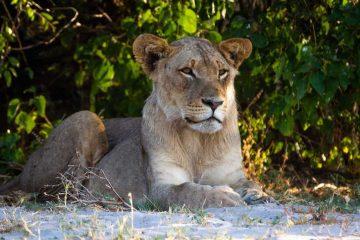 Leeuw in Chobe National Park Botswana