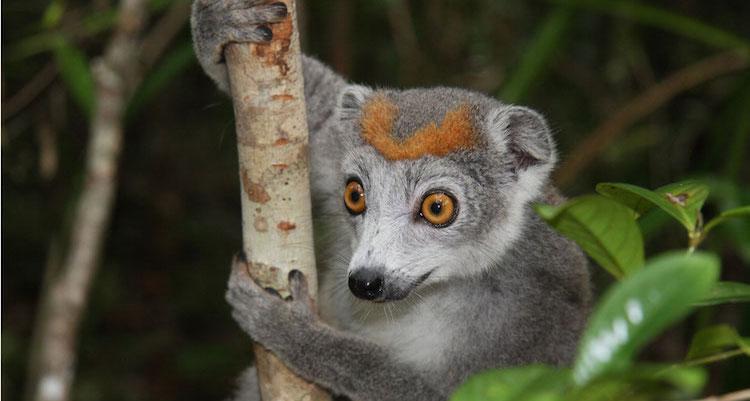 wat te doen in Madagascar Sawadee lemur