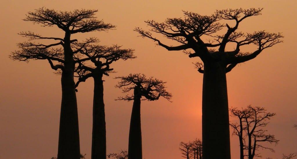 Madagascar bezienswaardigheden baobab
