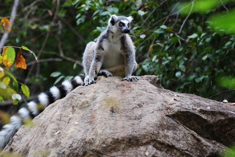Madagascar dieren maki