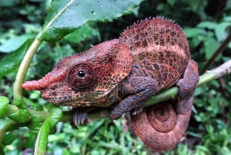 Madagascar eiland dieren salamander