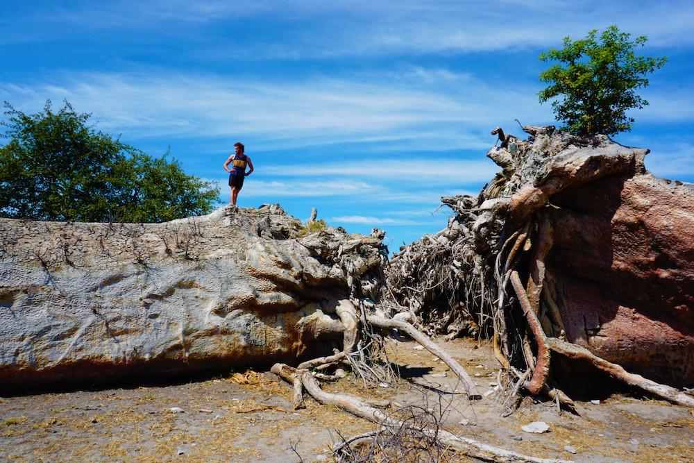 Makgadikgadi Botswana Chapman's Baobab