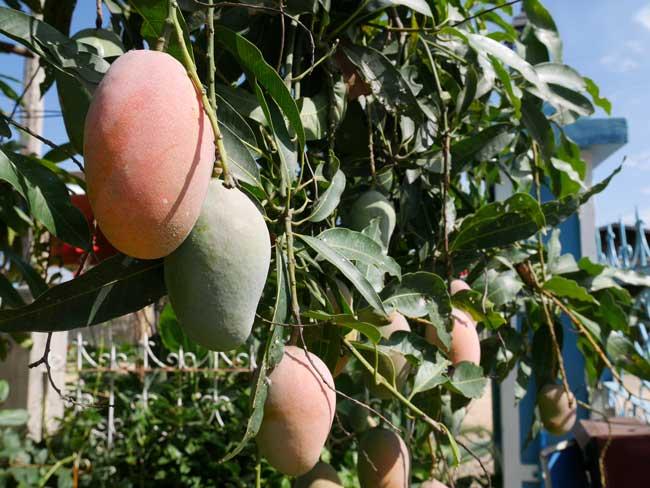 Myanmar Inle Meer mango