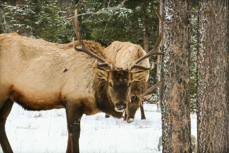 Marmot Basin Wildlife canadian rockies wintersport