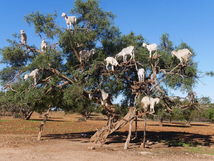 Marrakech omgeving geiten in de boom