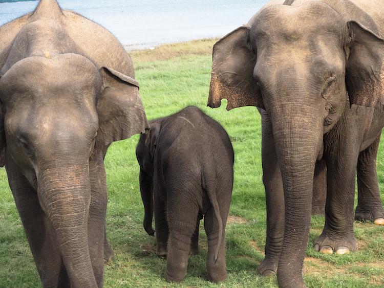 Minneriya-National-Park-baby-olifant
