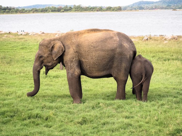 Minneriya national park wilde olifanten