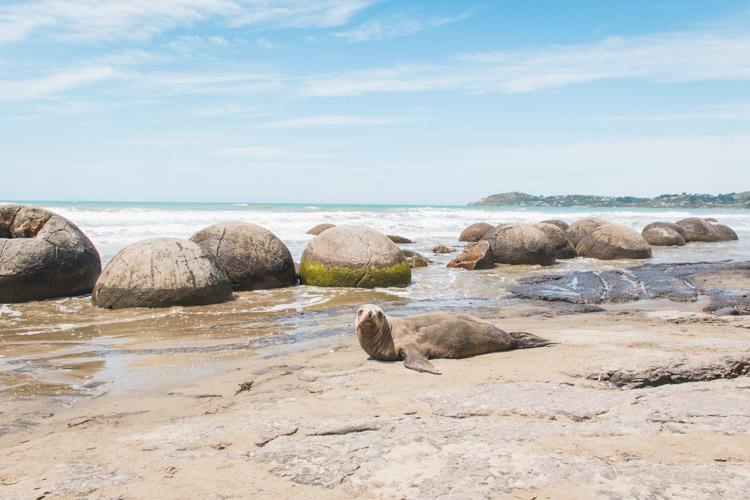 Moeraki Boulders Nieuw-Zeeland zeehond-2