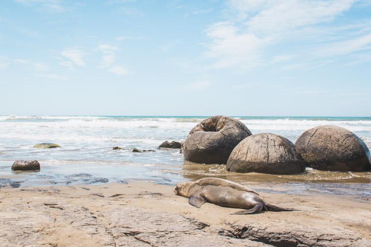 Moeraki Boulders Nieuw-Zeeland zeehond