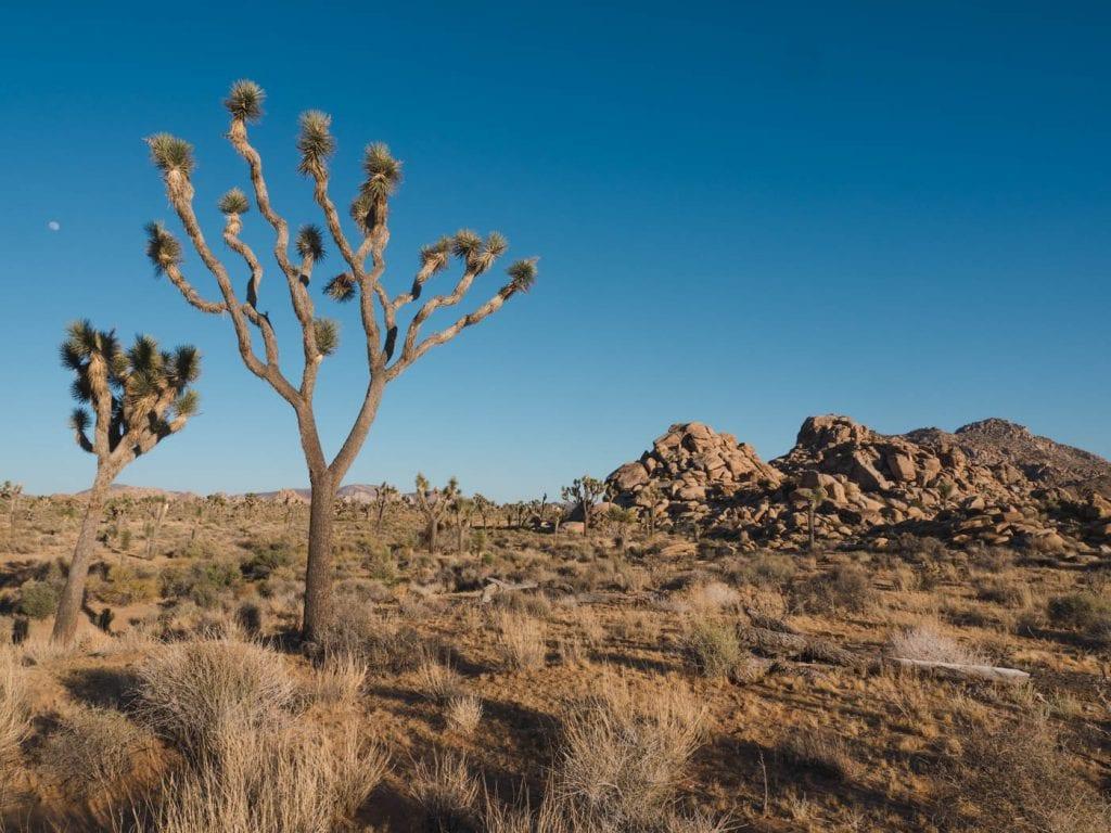 Mojave woestijn joshua tree boom