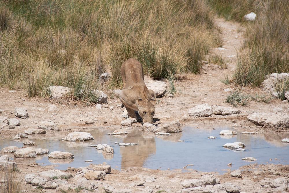 Namibie Etosha National Park leeuw drinken