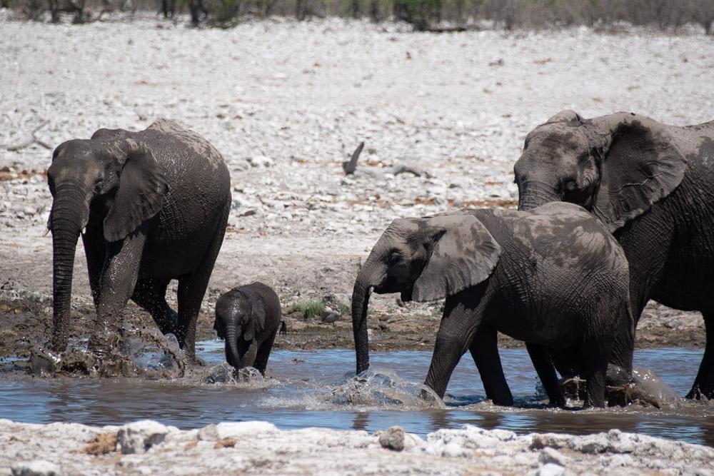 Namibie Etosha National Park olifant