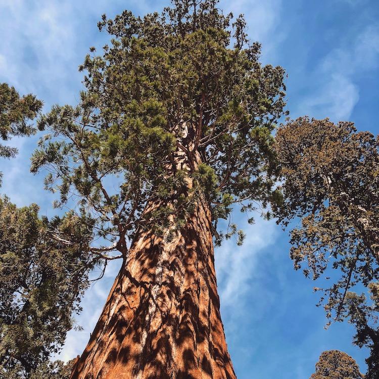 Nationale parken amerika sequoia np