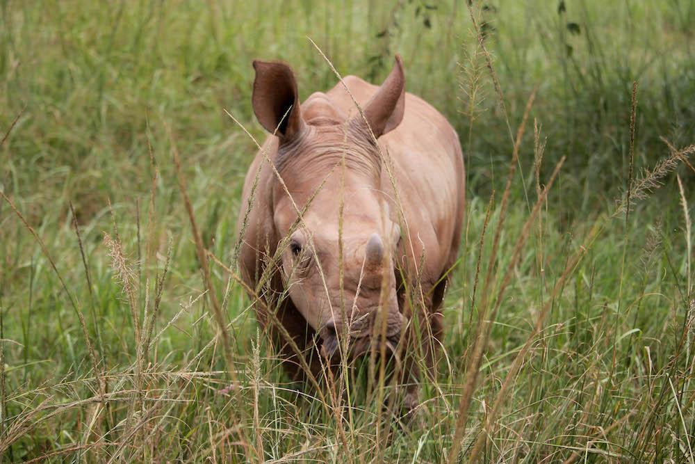 Neushoorn in zuid-afrika