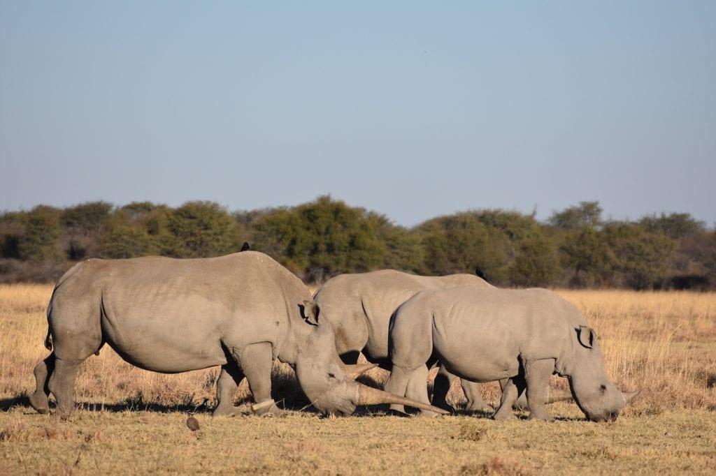 Neushoorns in Botswana tijdens backpacken
