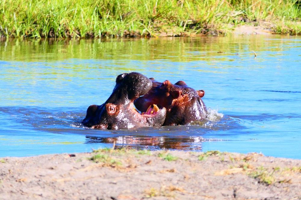 Nijlpaarden Okavango Delta Botswana