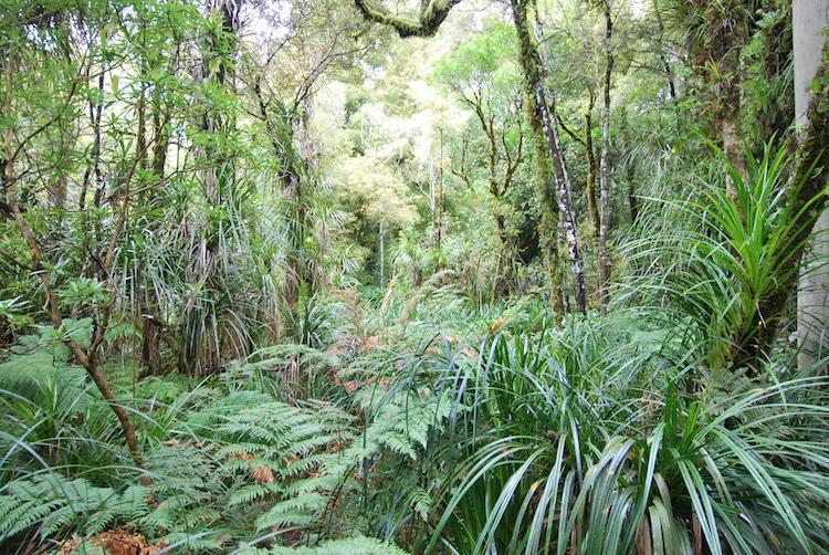 Northland Nieuw-zeeland Waipoua Forest (2)