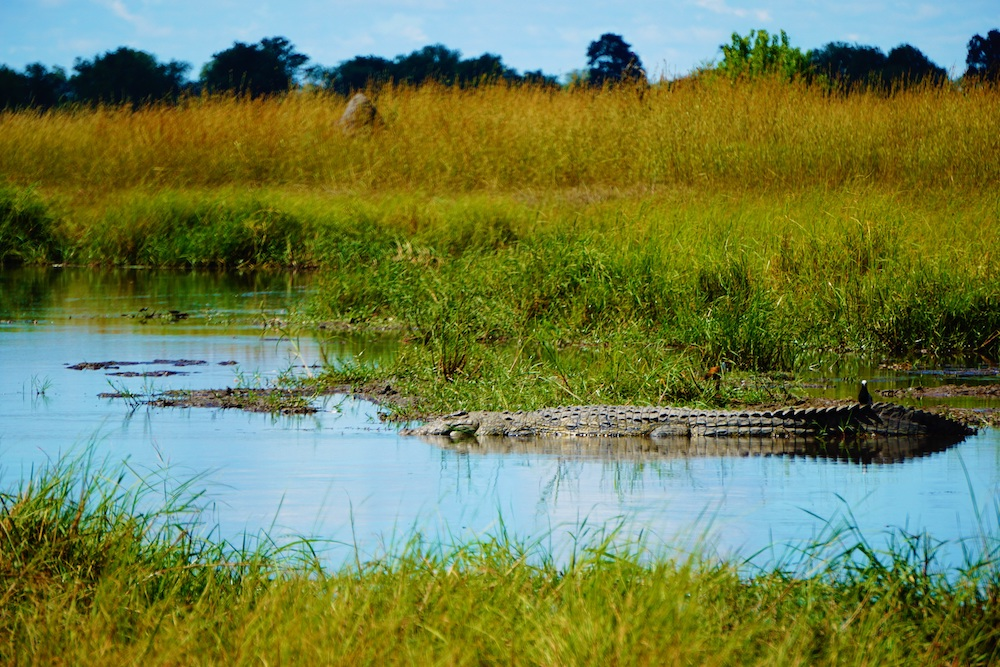 Okavango Delta Botswana krokodil