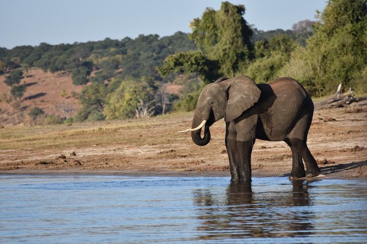 Olifanten in Botswana backpack reis
