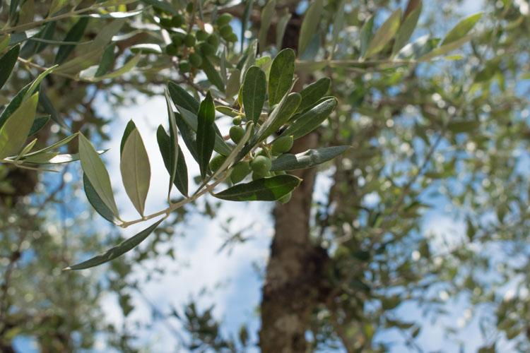 Olijven zakynthos