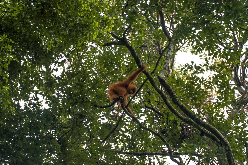 Orang-Oetan in het wild Bukit Lawang