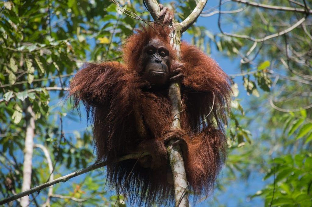 Orang-Oetan in het wild bukit lawang-2