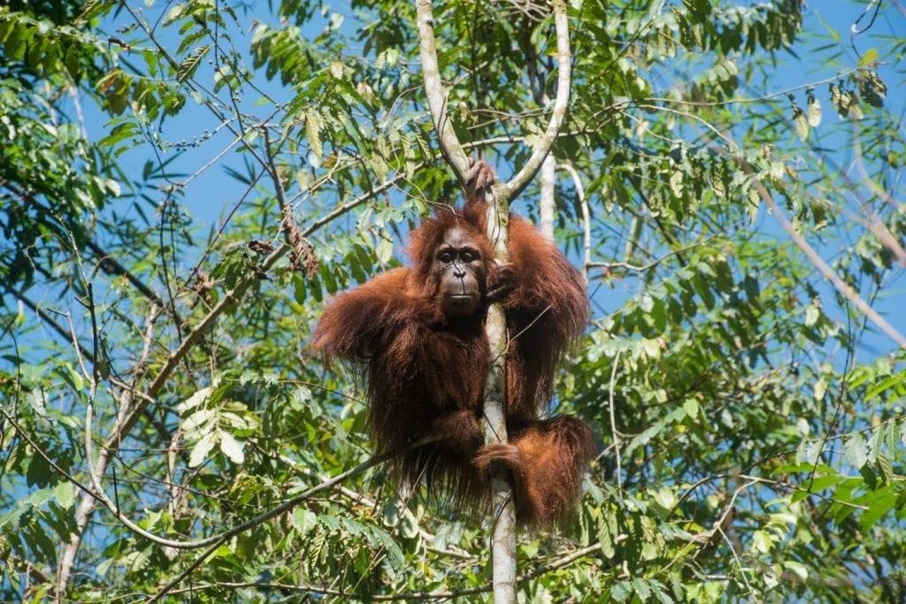 Orang-Oetan in het wild in bukit lawang