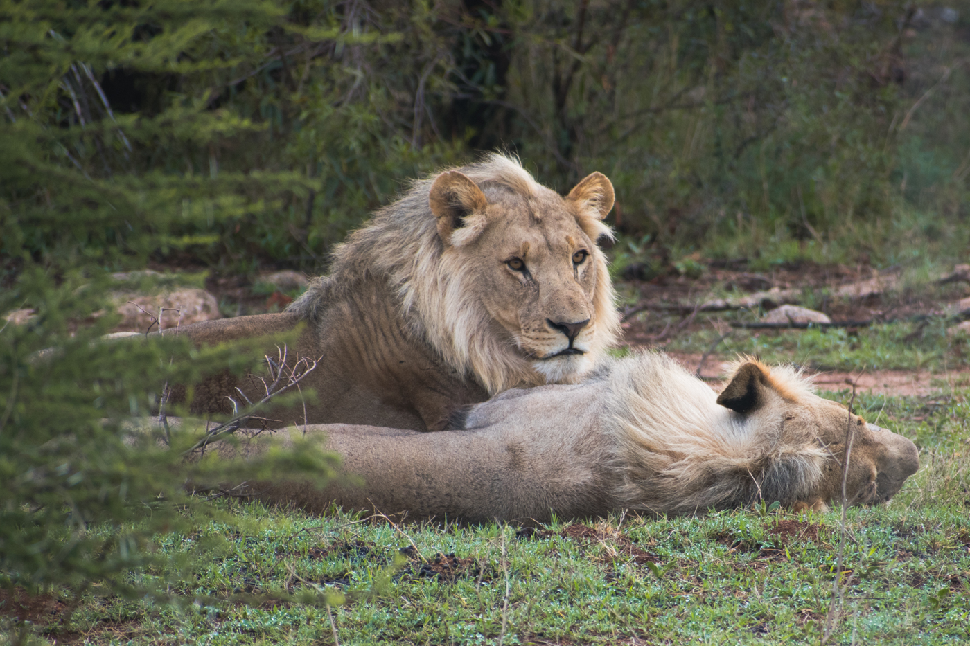 PIlanesberg big five ivory tree lodge