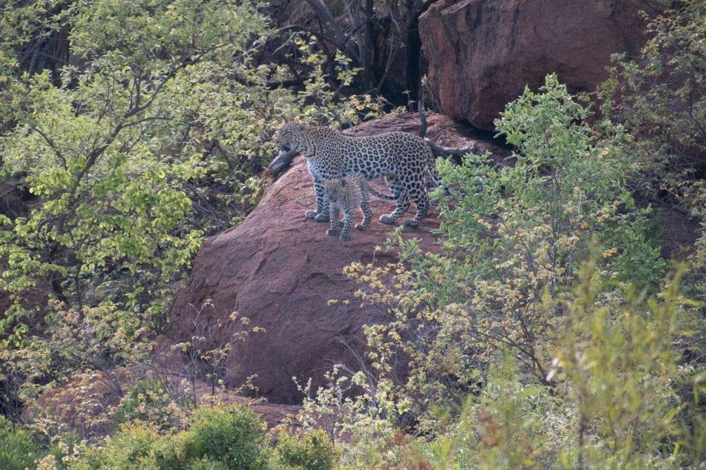 PIlanesberg big five safari luipaard ivory tree