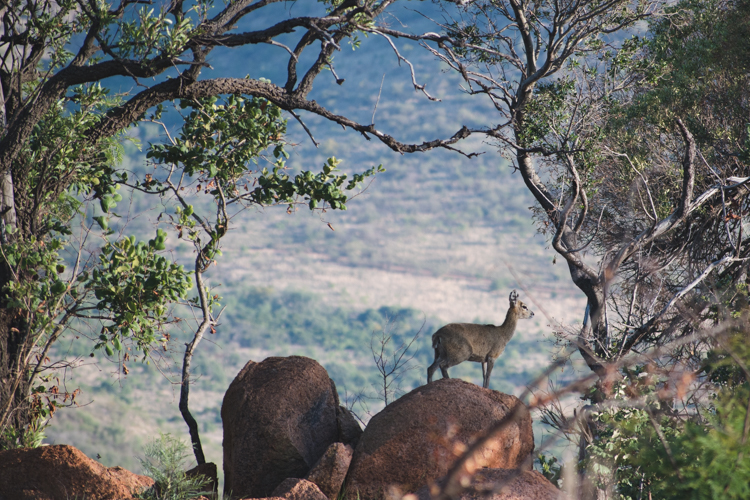 PIlanesberg ivory tree lodge wildlife safari