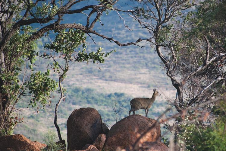 PIlanesberg ivory tree lodge wildlife safari