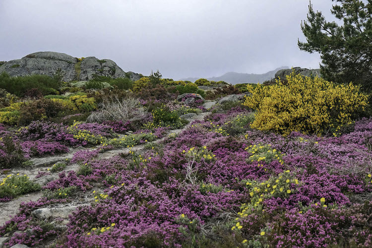 Paarse bloemen in centraal portugal