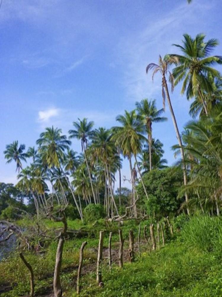 Palmbomen-ometepe-nicaragua
