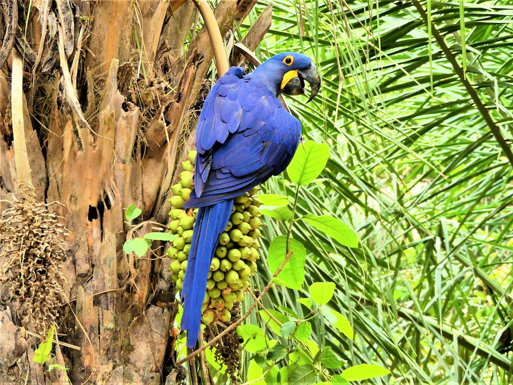 Pantanal Ara Brazilie