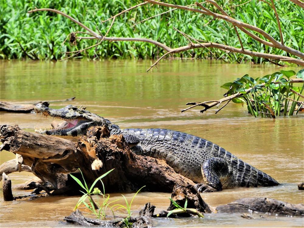 Pantanal krokodillen dieren brazilie
