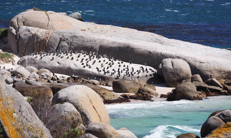 Penguin boulder beach zuid afrika