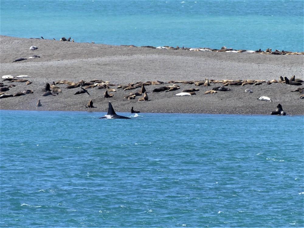 Península Valdés, Orka aan het jagen