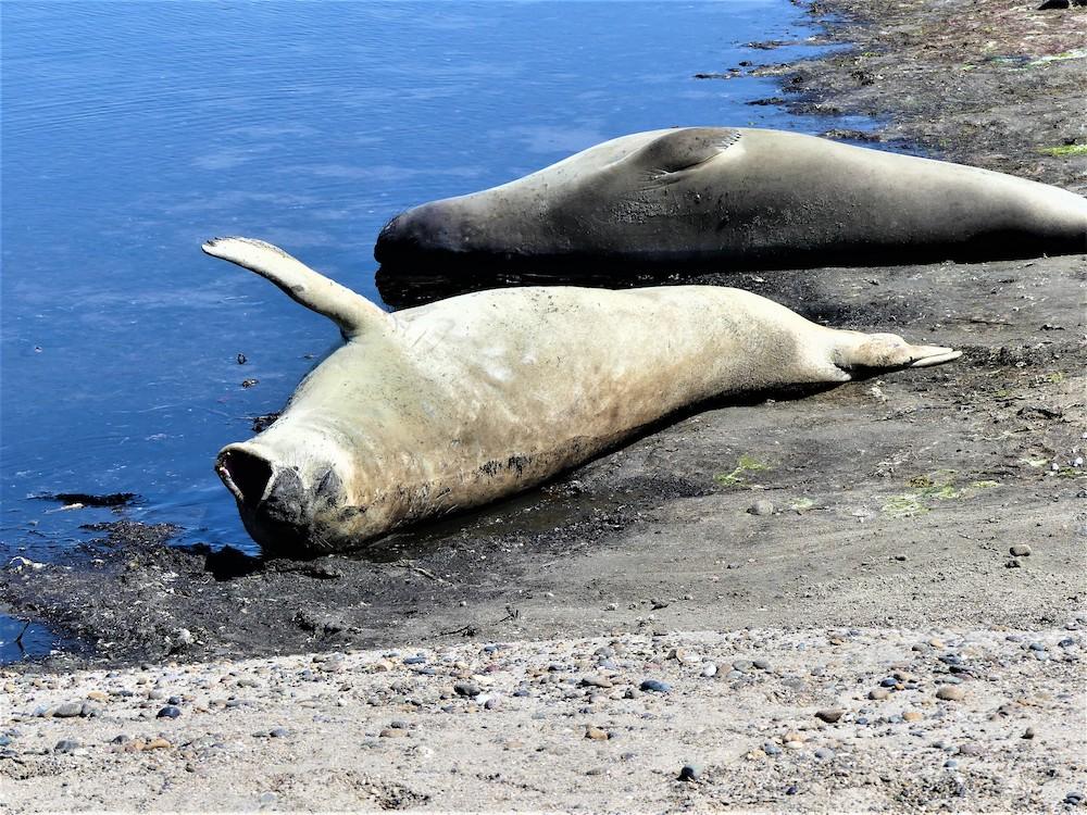 Península Valdés, gapende zeehond