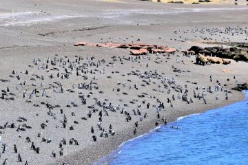 Península Valdés, penguins in Punta Tombo