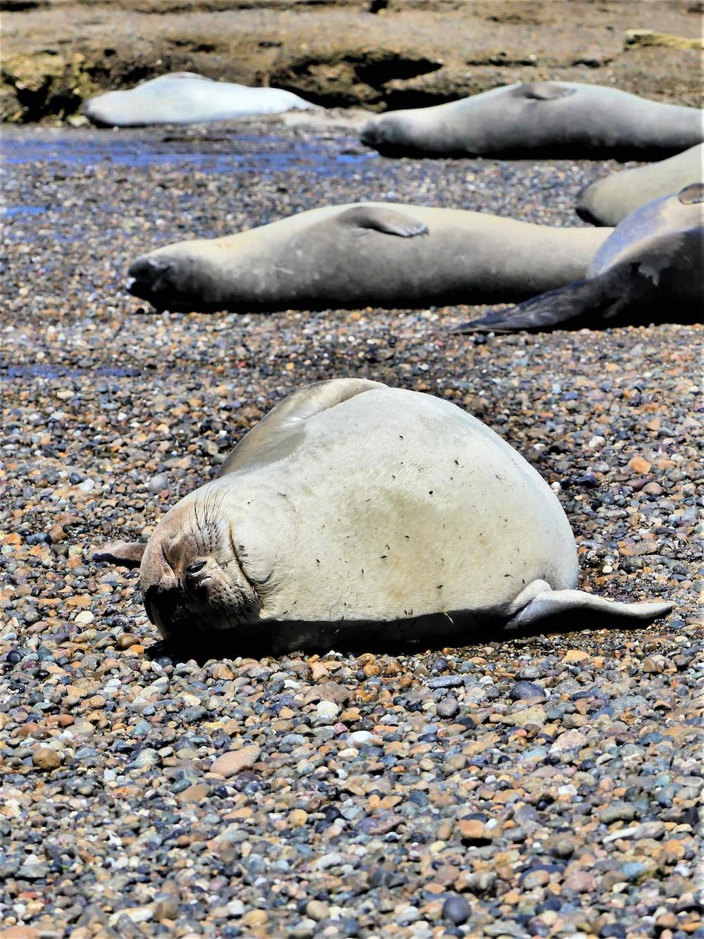 Península Valdés, zeehond