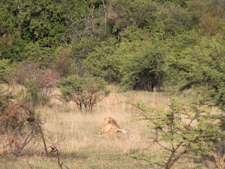 Pilanesberg Zuid Afrika leeuw