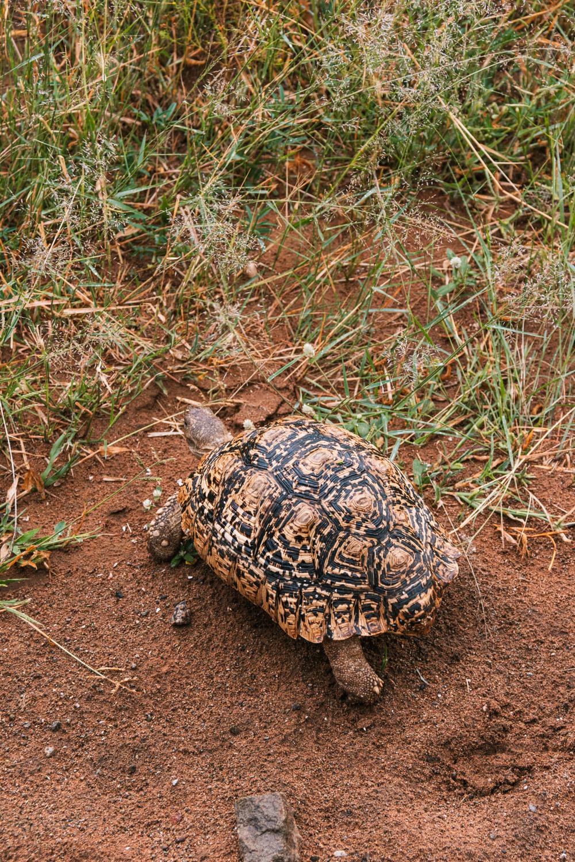 Pilanesberg national park schildpad