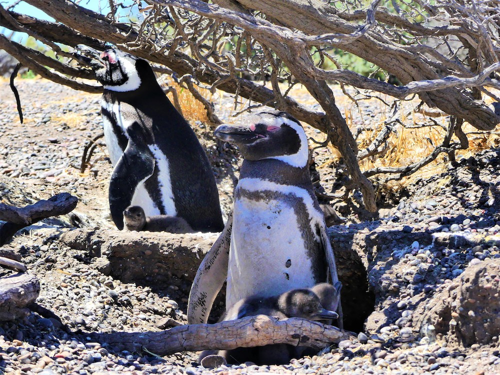 Pinguïns met jongen, Península Valdés