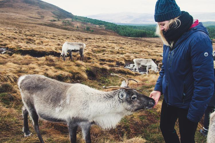 Rendier in Cairngorms kleintje Schotland