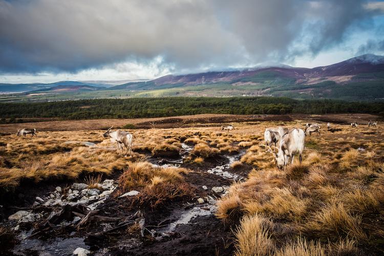 Rendieren in Cairngorms Schotland