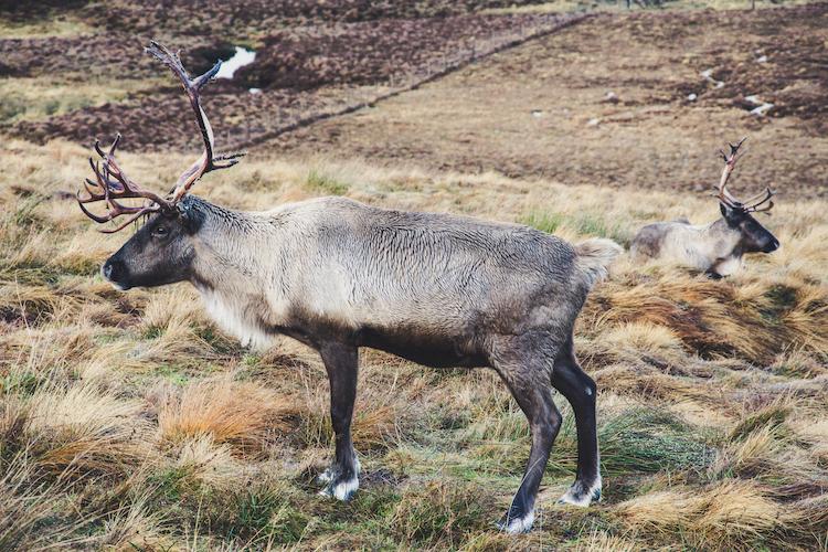 Rendieren in Schotland Cairngorms
